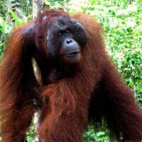 Orang-Utans, Borneo