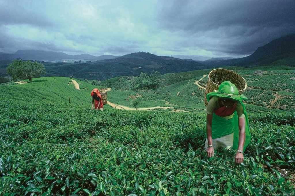Mittendrin bei der Tee-Ernte
